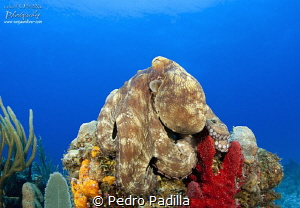 Octopus sunbathing by Pedro Padilla